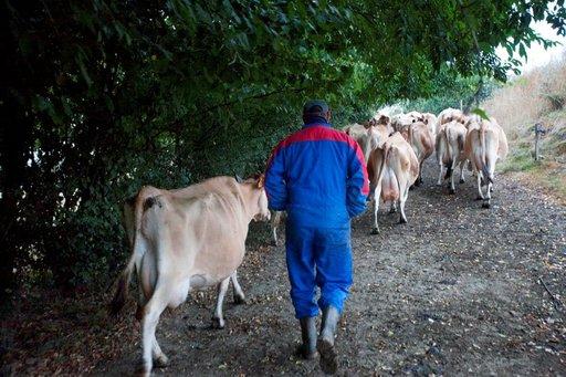 Jérôme vie lehmät navettaan lypsylle joka aamu.