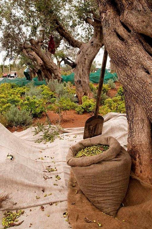 """""""Vihreän kullan"""" sadonkorjuu on käynnissä. Peloponnesoksen alueella kasvavat maailman parhaat oliivit - näin sanotaan. Kalamatan oliiveilla on jopa EU:n nimisuoja."""