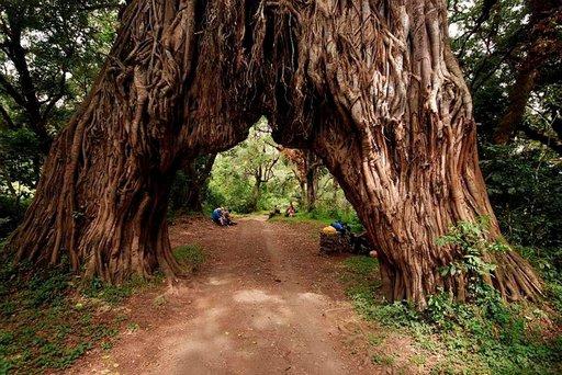 Lounastauolla jättimäisen viikunapuun juurella Arushan luonnonpuistossa.