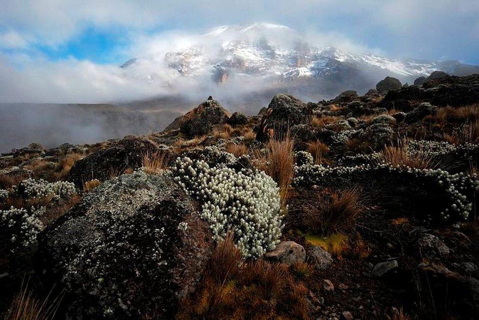 Kukkaloistoa korkealla rinteillä Kilimanjaron luonnonpuistossa.