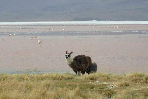 Laamaa ja alpakkaa on hankala erottaa toisistaan. Kuvan eläin on korvista päätellen laama, sillä alpakan korvat ovat lyhyemmät.