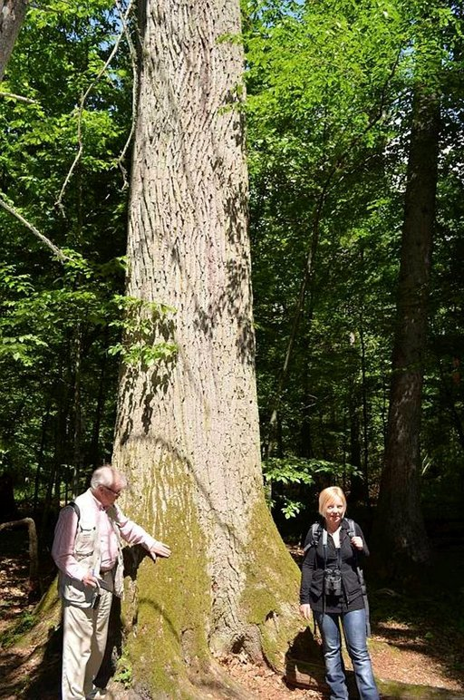 Białowiezan kansallispuiston puut voivat olla 500 vuotta vanhoja.