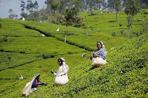 Useille teeplantaaseille pääsee tutustumaan toimintaan.
