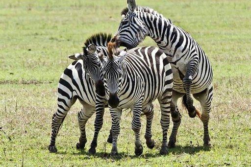 Seeprakolmikko vauhdissa Ngorongorossa.