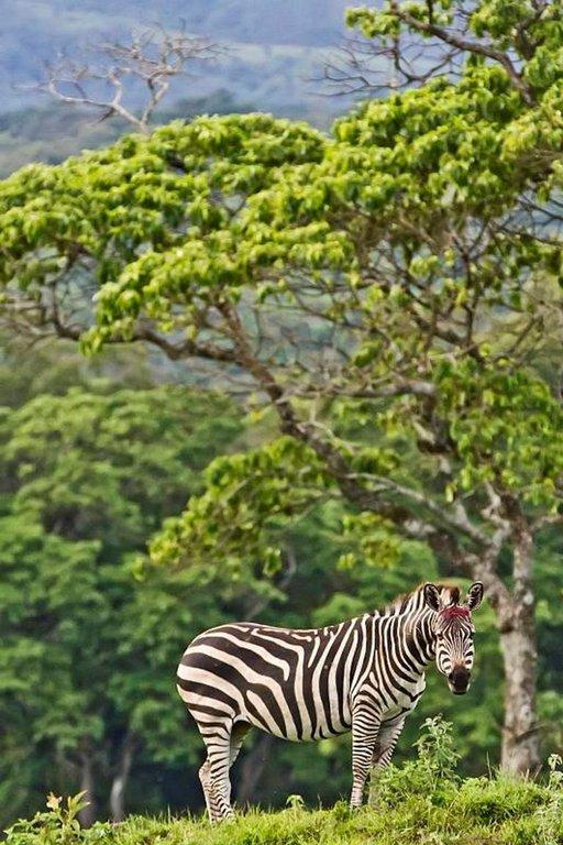 Arushan kansallispuisto on tiheän asutuksen saartama. Puiston rajojen ulkopuolelle vaeltanut seepraon satuttanut otsansa salametsästäjien ansalankoihin.