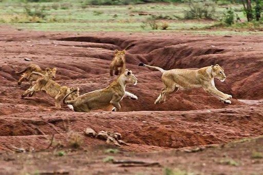 Illan viiletessä leijonajuniorit kisailevat keskenään Serengetissä.