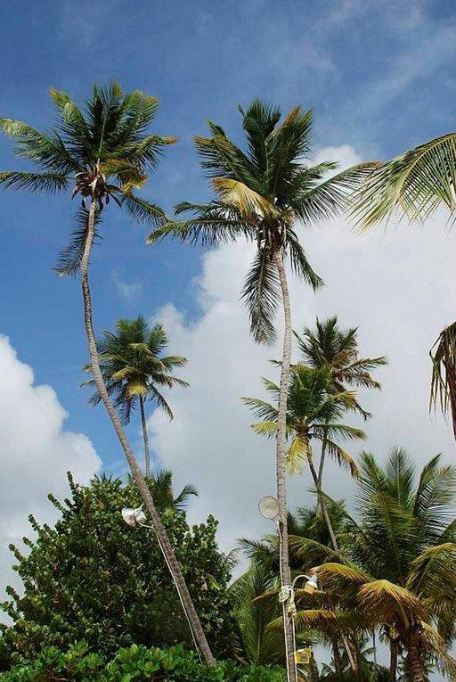 Tobago on vihreä saari. Palmut antavat suojaa uimarannalla..