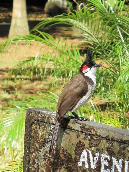 Punaposkibulbuleita ja muita eksoottisia lintua näkyy ympäri Mauritiusta.