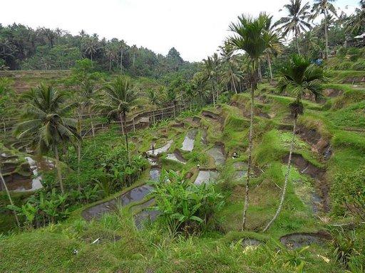 Petulua ympäröivät riisipellot, joilla ankat taapertavat ravintoa etsien.