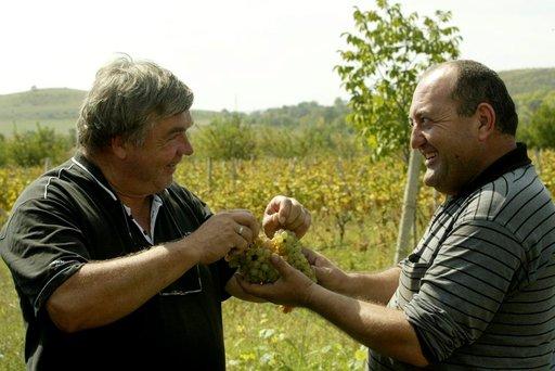 Kakhetin maakunnassa on viiniviljelyksillä sadonkorjuun aika. Tilan johtaja Ramaz Svnmonishvili tarjoilee vieraille makeita rypäleitä.