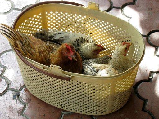 Ei mitään nopeasti kasvatettua broileria, vaan oikeaa kanaa torilta.