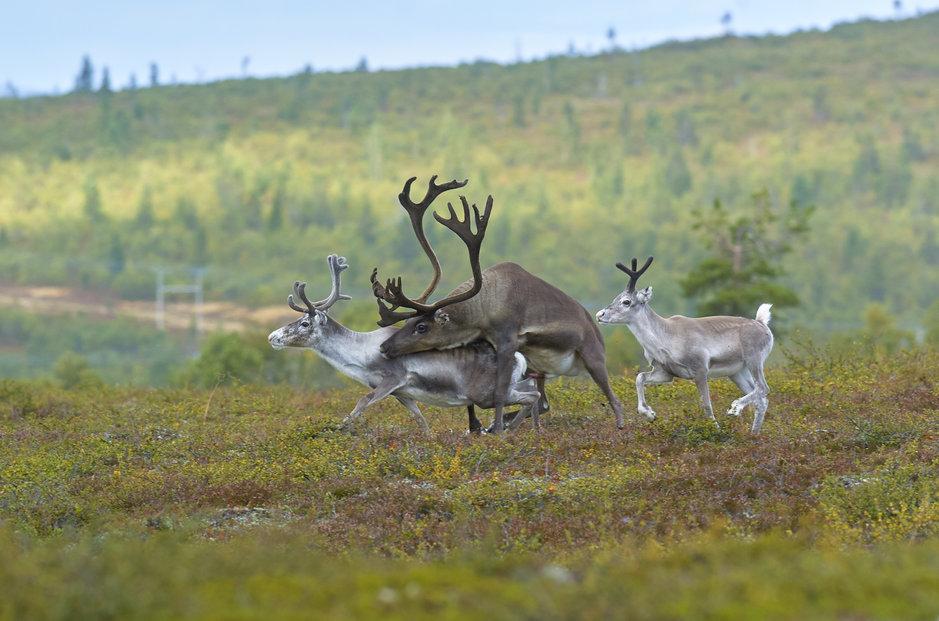Arktikumin tuleva näyttely kertoo myös porojen parittelusta. - Kuva: Tomi Muukkonen