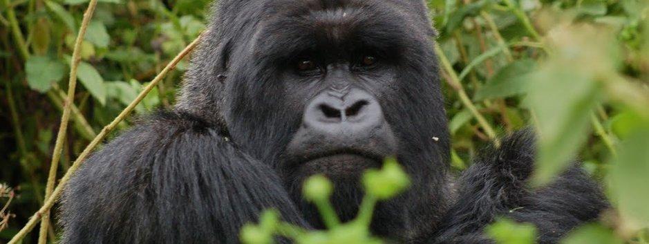 Vuoden uusi matkailukohde on Ruanda ja sen vuoristogorillat.