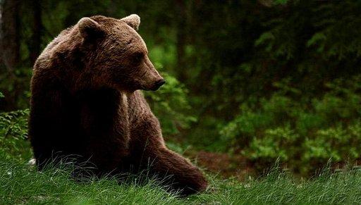Karhusafarilla nähdään metsien kuningas silmästä silmään. Kuva: Jarno Pääkkönen