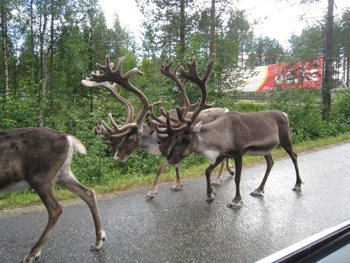 Nyt on syytä varoa poroja - Hirvestäjä<br /> loukkaantui poron hyökättyä päälle Helsinki