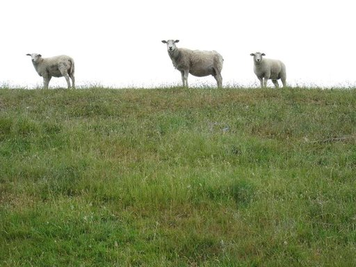 Sadesäässä pyöräilijät ihmetyttävät merenrannalla laiduntavia lampaita.