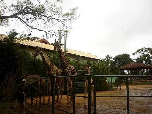 São Paulon eläintarhan kirahvit.