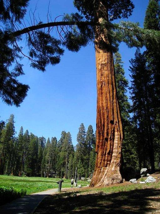 Tavalliset havupuut kalpenevat mammuttipetäjien rinnalla.