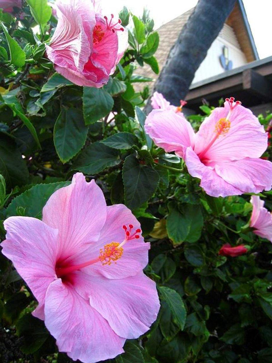 Värikkäät ja eksoottiset kukat kaunistavat Havaijin saaristoa.