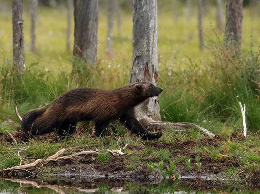 Ahma on kuvaus- ja katselukojuilla karhuja ja susia harvinaisempi vieras.