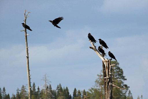 Ensimmäisenä ilmestyvät korpit metsäbuffetin kelopuihin odottamaan ateriaa.