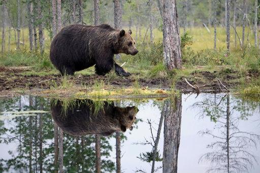 Karhu peilautuu erämaalammen tyveneen pintaan.