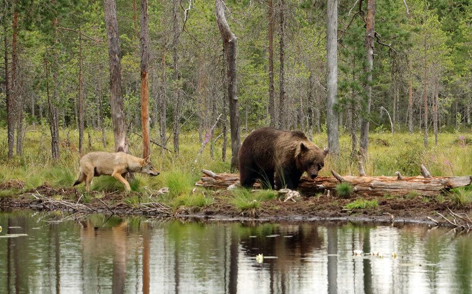 Karhun ja suden välinen rauhaisa rinnakkaiselo on harvinaista. Kuhmossa sellainenkin voi tapahtua.