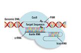 CRISPR-Cas9 Delivery