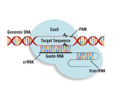 CRISPR_Cas9.jpg